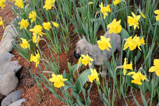 puggle puppy daffodil flowers flowers