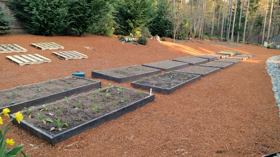 raised garden beds planted with spring vegetables