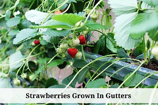 strawberries grown in gutters