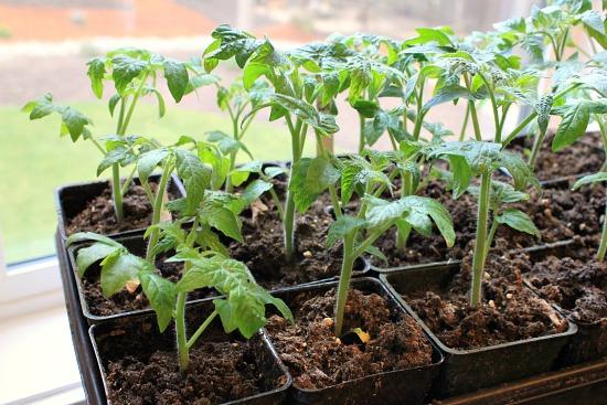 tomato plants 6 weeks