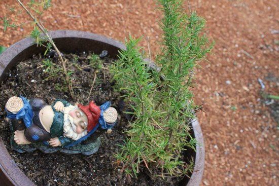 Container Herb Garden rosemary