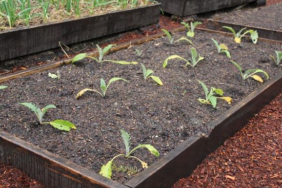 artichokes raised garden beds