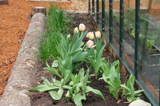 chives and tulips