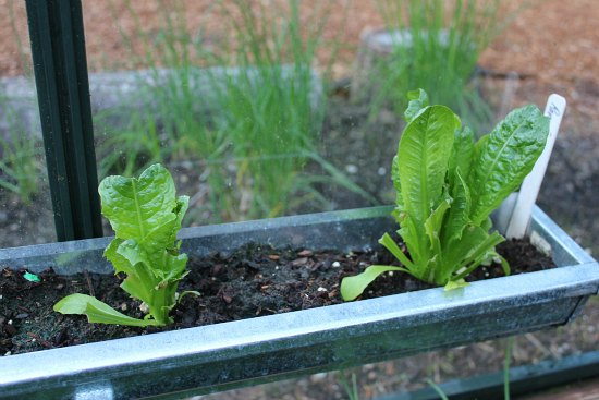 does lettuce grow back when you cut it