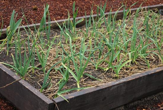 garlic growing in a raised garden bed