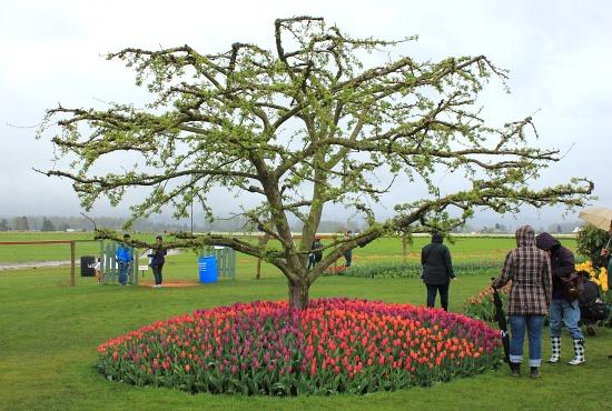 skagit valley tulip festival roozengaarde