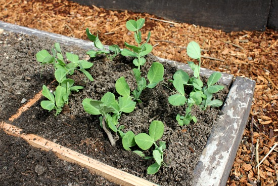 snow peas 1 month