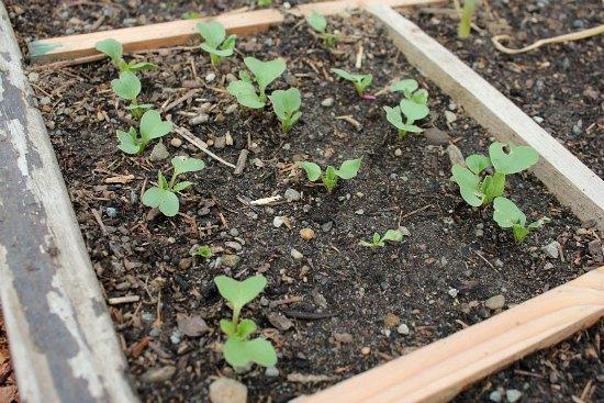 square foot gardening grid radish