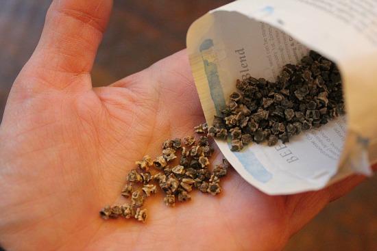what do beet seeds look like
