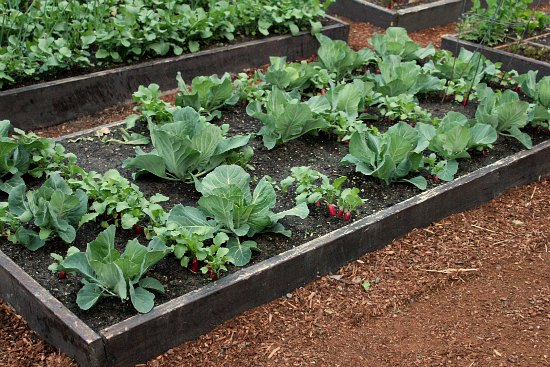DIY Raised garden beds cabbage