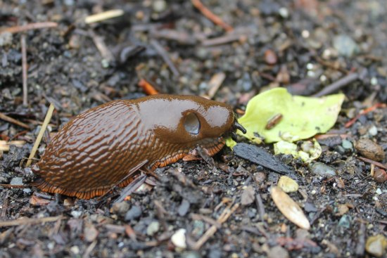 brown slug