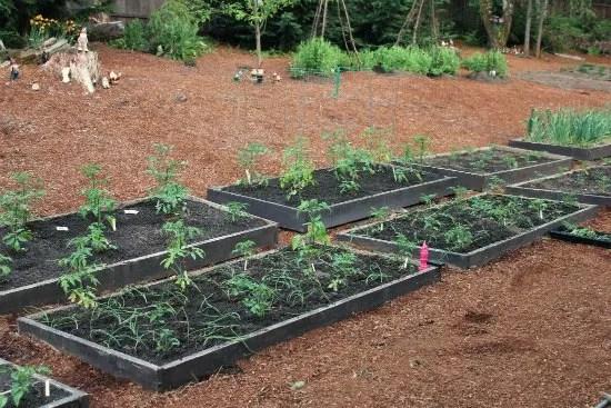 companion planting tomatoes carrots onions