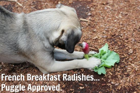 french breakfast radishes