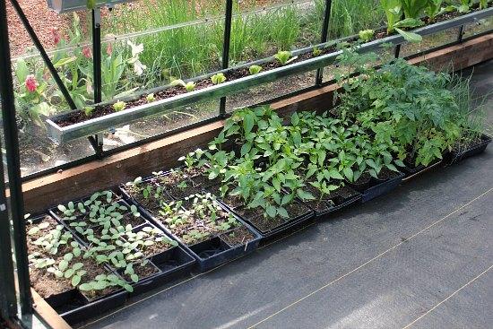 greenhouse vegetable starts