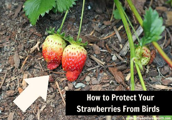 how to protect your strawberries from birds