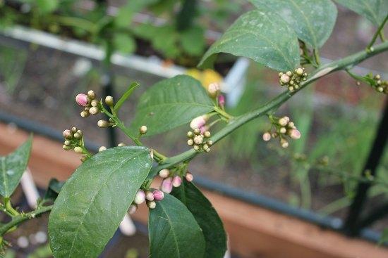 meyer lemon tree buds