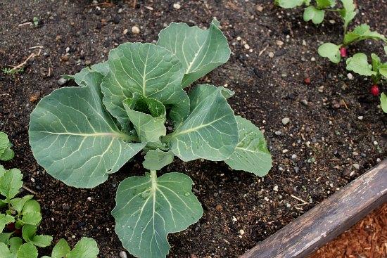 organic cabbage garden