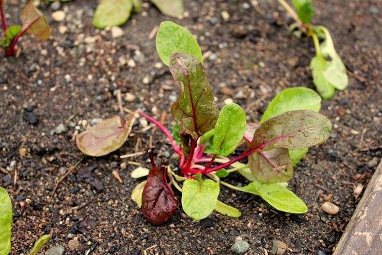 organic swiss chard garden