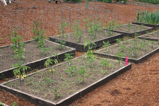 raised garden beds organic tomatoes