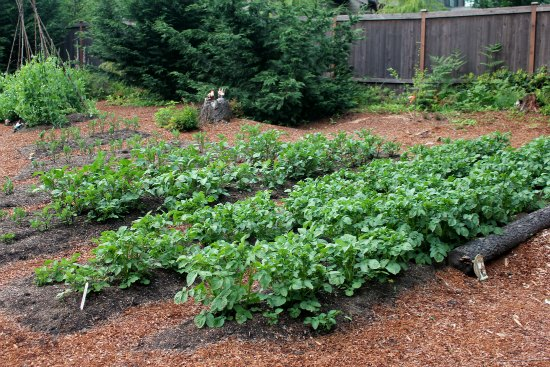 raised garden beds potatoes