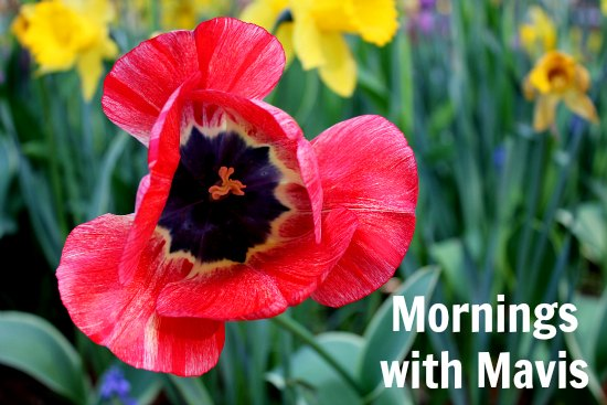 red tulips flowers mornings with mavis