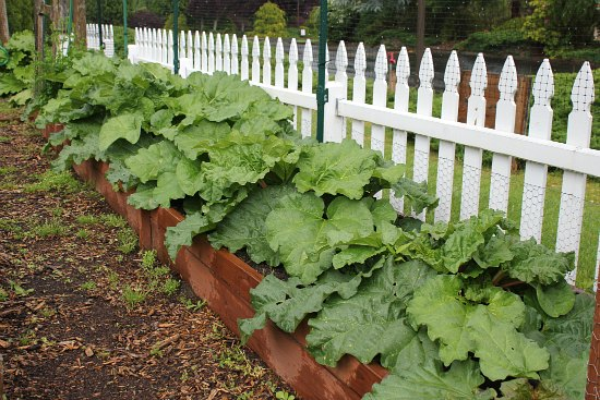 rhubarb plants white picket fence