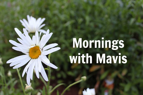 mornings with mavis shasta daisy