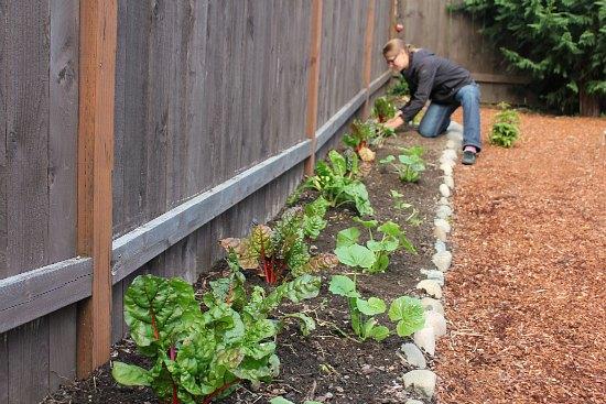 planting Swiss chard
