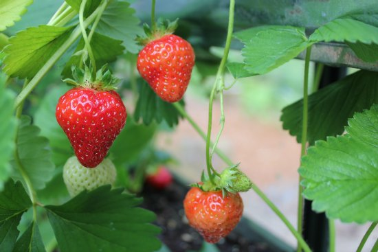 strawberries growing in gutters