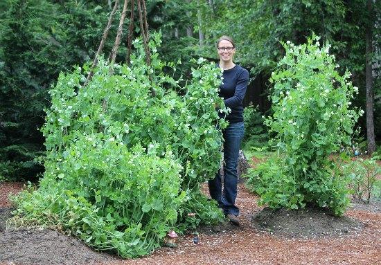 sugar snap peas grow on teepees