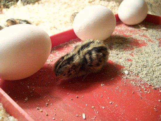 baby quail egg