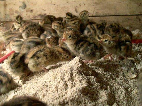 baby quail hatching