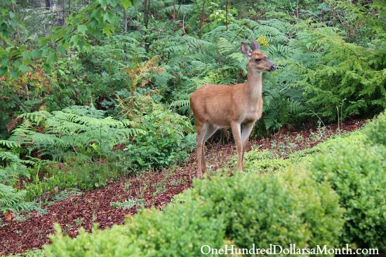 How to Keep Deer Out of Your Garden - Stop Feeding Them! - One ...