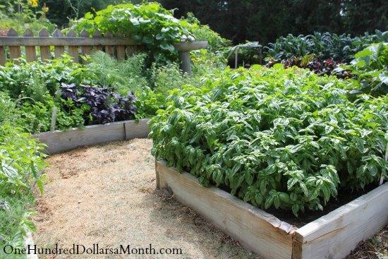 curtis garden basil