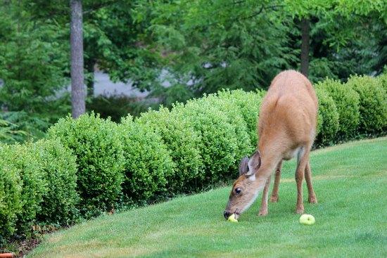 deer eating apples