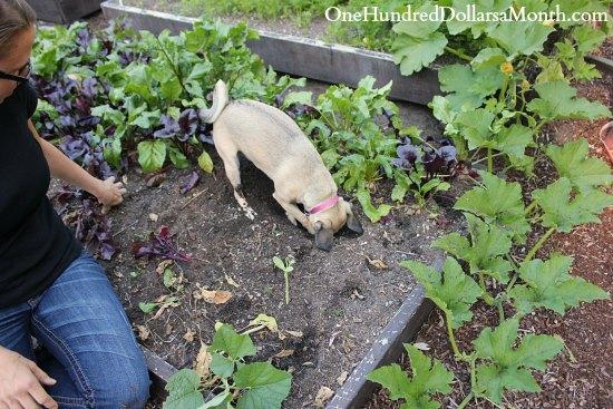 digging up beets