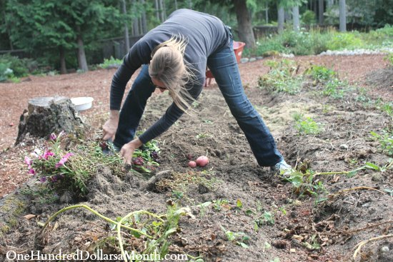 How to Harvest and Store Potatoes for Winter - One Hundred Dollars a