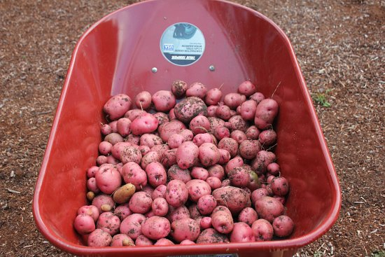 potatoes red wheelbarrow
