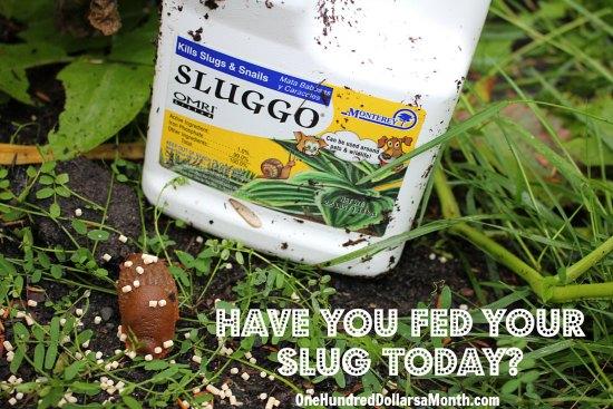 sluggo for slugs