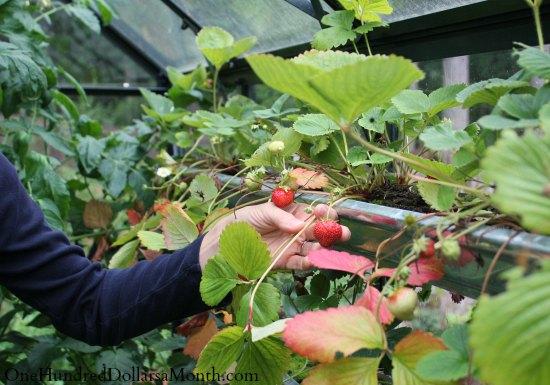 strawberries in gutters