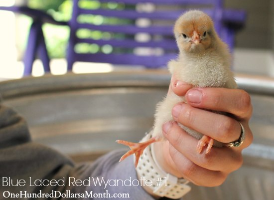 Blue Laced Red Wyandotte chick