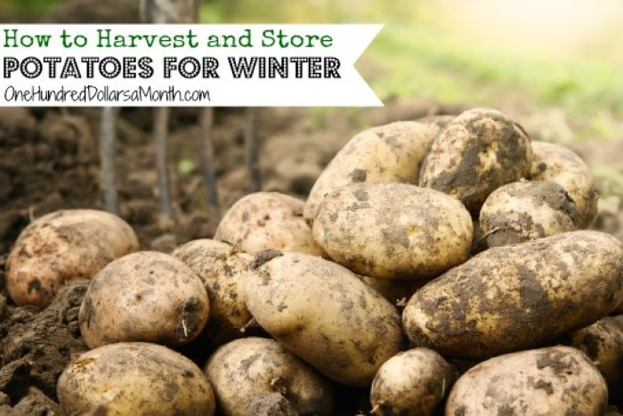How to Harvest and Store Potatoes for Winter