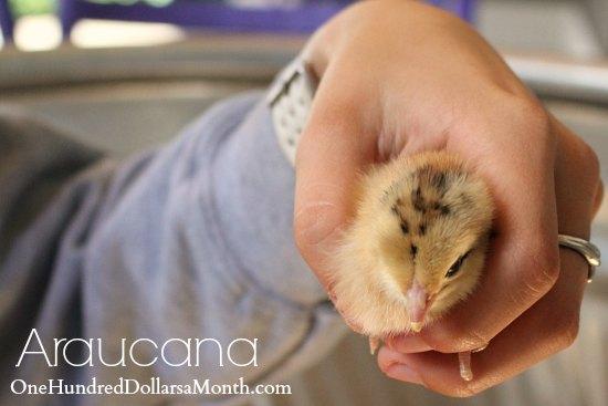 araucana chick