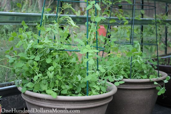 growing peas in containers