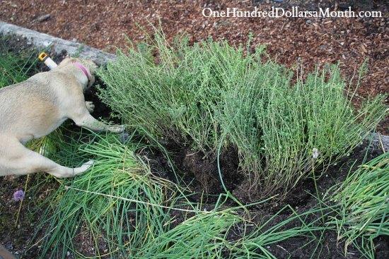 herb garden thyme