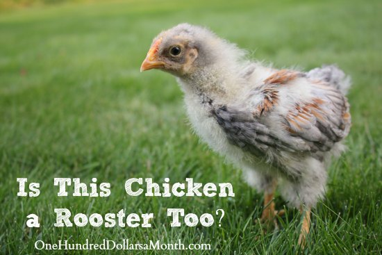 How Can I Tell If My Chick is a Rooster? - One Hundred Dollars a Month