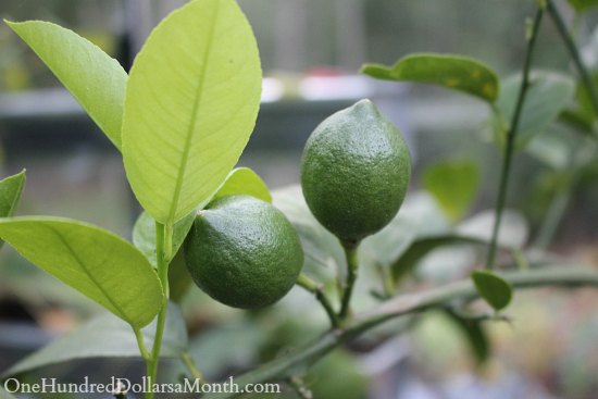 lemon tree fruit