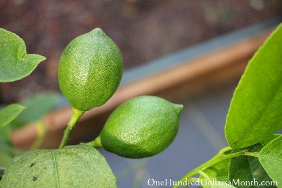 meyer lemons in greenhouse