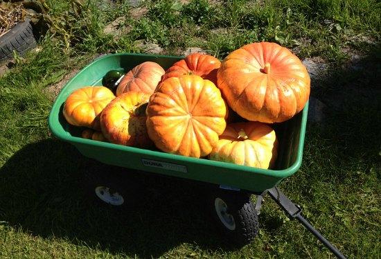 cinderela pumpkins