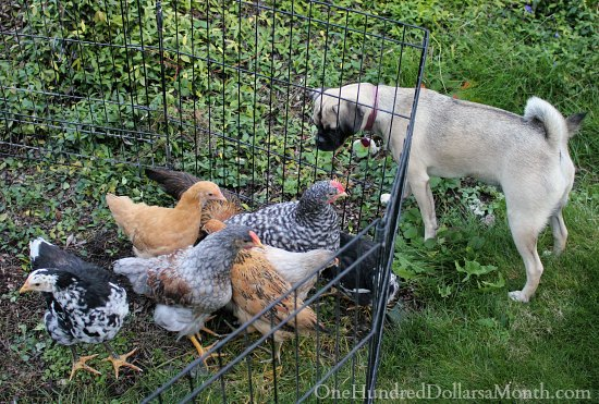 dogs and chickens puggle